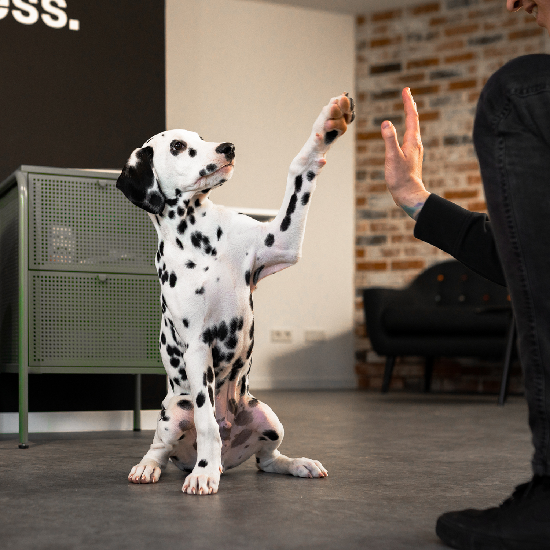 High Five mit Coco dem Dalmatiner